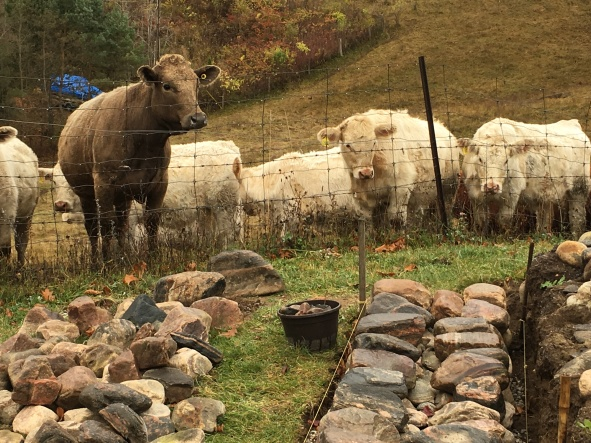 IMG_3210 stone wall with cows