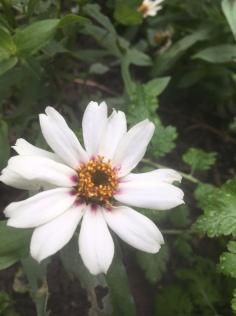 IMG_5190 October white zinnia